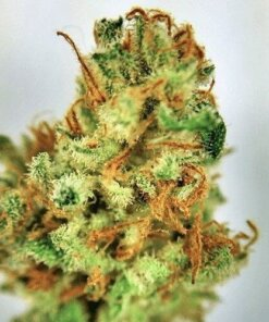 Buy Cookie Monster Marijuana online
